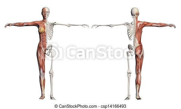 Koerper, muskeln, weibliche , menschliches skelett. Koerper, gemacht ...