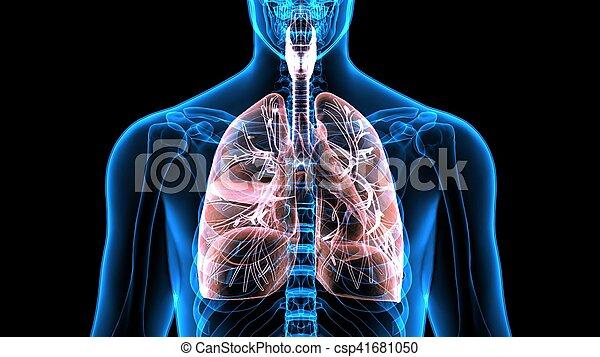 Koerper, organe, (lungs).3d, menschliche . (windpipe), air-filled ...