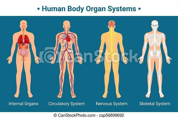Koerper, plakat, menschliche , organ, systeme. Koerper, zirkulierend ...