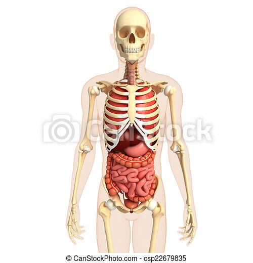 Koerper, verdauungssystem, menschliche . Skelett, system, abbildung ...