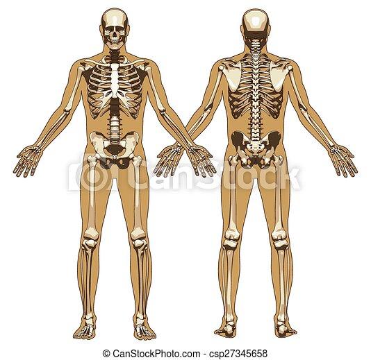 koerper, wohnung, hintergrund, skelett, menschliche  - csp27345658