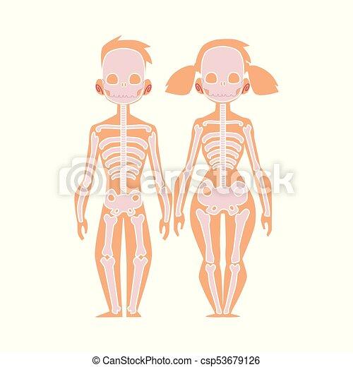 Koerper, wohnung, skelett, koerperbau, vektor, menschliche ...