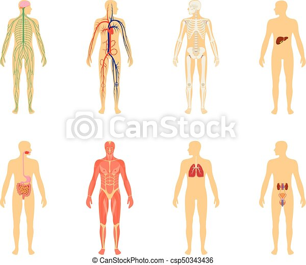 Koerper, zirkulierend, anatomy., skelett, system., freigestellt ...