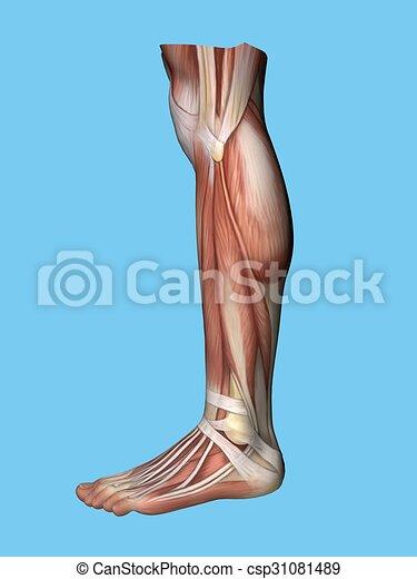 Koerperbau, ansicht, seite, bein. Streckmuskel, sehne ...
