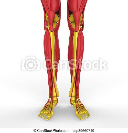 Koerperbau, beine, muskeln, menschliche . Muskeln, abbildung ...