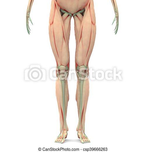 Koerperbau, gelenke, muskeln, menschliches bein. Muskeln, bein ...