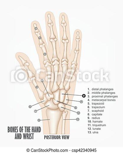 Koerperbau, knochen, handgelenk, hand. Abbildung, hand, koerperbau ...