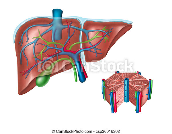 Koerperbau, leber. Diagram., illustration., hepatisch, zelle, leber ...