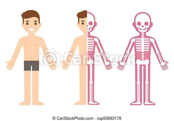 Koerperbau, mann, skelett. Wohnung, koerperbau, skelett, section ...