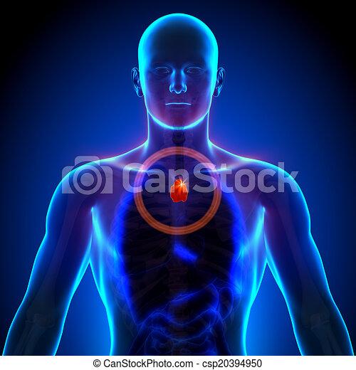 Koerperbau, -, mann, thymusdrüse, menschliche . Thymusdrüse ...