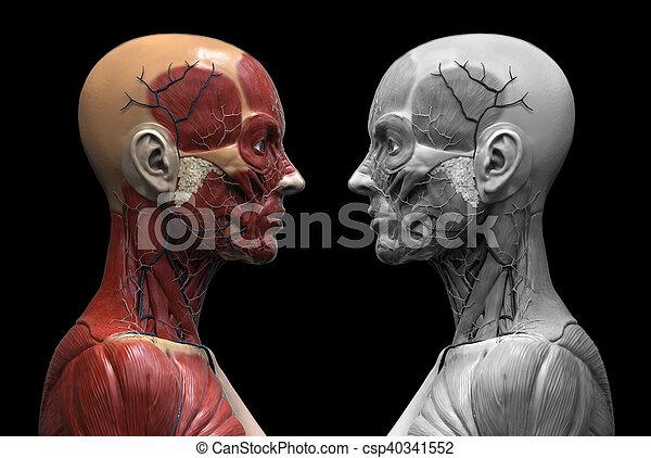 Koerperbau, menschliche , weibliche . Schulter, menschliche ...