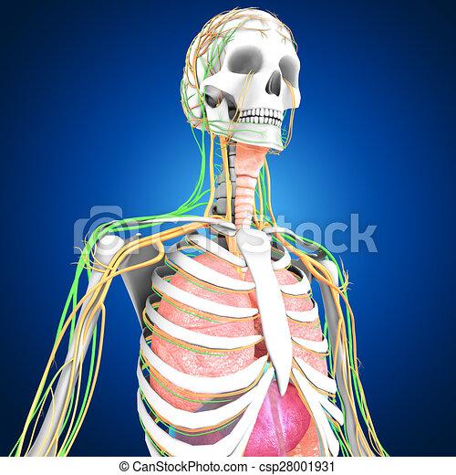 Koerperbau, menschliche . Schichten, gemacht, knochen, organ, organs ...