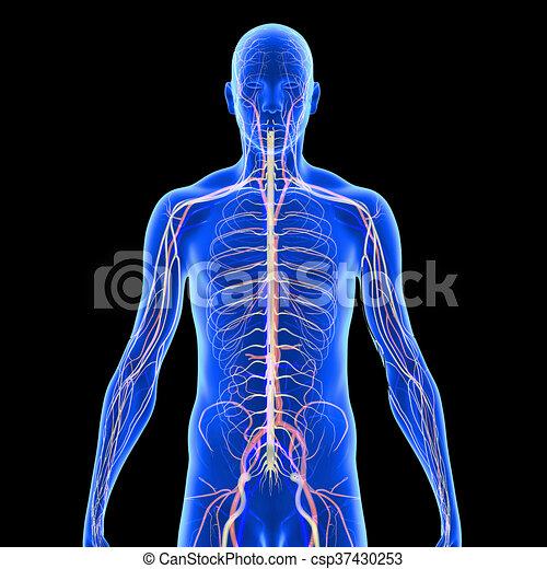 Koerperbau, nerven. Nerv, fasern, (nerve, electrochemical ...