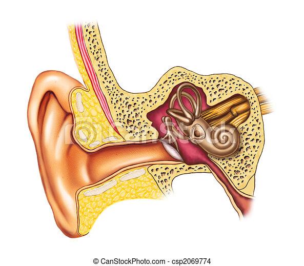 Ear Anatomie - csp2069774