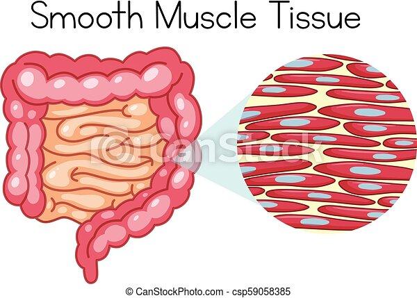 Muskelgewebe Vektor Clip Art EPS Bilder. 435 Muskelgewebe Clipart ...