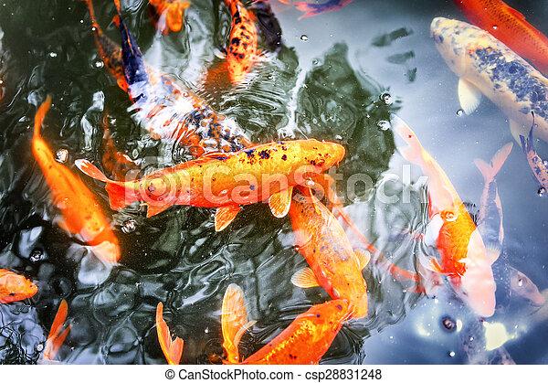 Koi tang poissons natation koi japonais jardin for Koi japonais prix