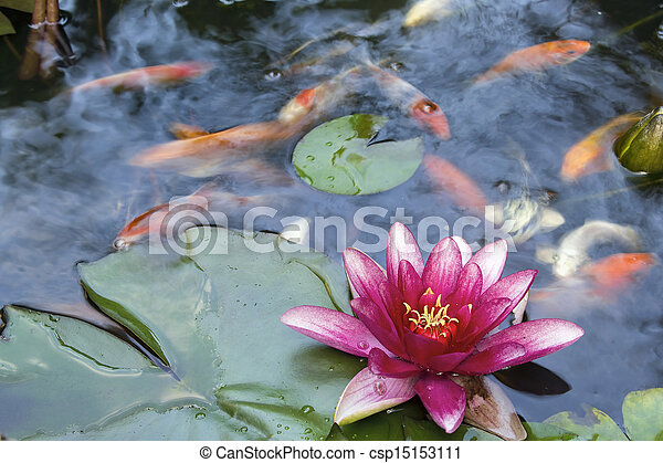 koi, blume, wasser, blühen, teich lilie - csp15153111