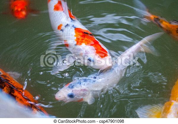 koi color muchos pez colorido carpa llamada jap n