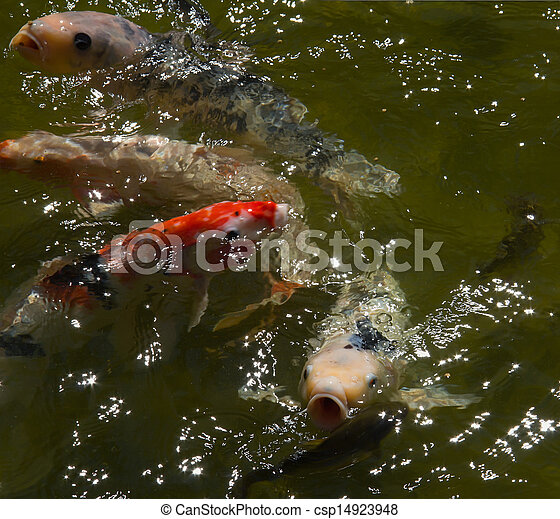 Koi eau carpes tincelant koi color carp koi for Carpe koi tarif