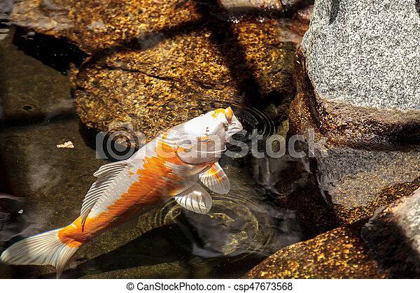 Eating Koi Fish   Koi Fish Cyprinus Carpio Haematopterus Eating In A Koi Stock