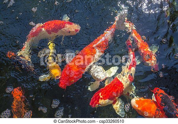 koi fish in the pond - csp33260510