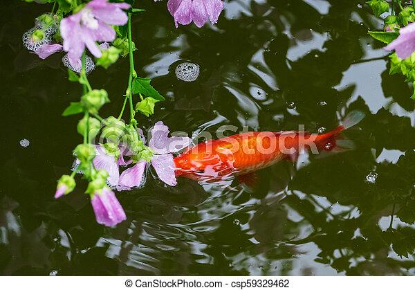 Koi fish in the pond - csp59329462