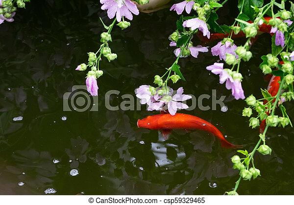 Koi fish in the pond - csp59329465