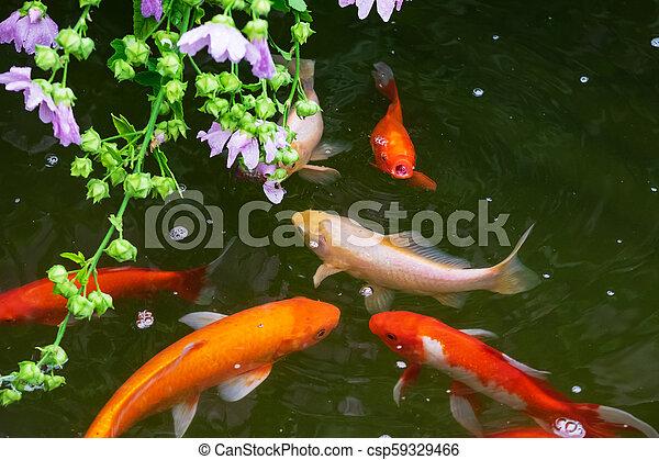 Koi fish in the pond - csp59329466