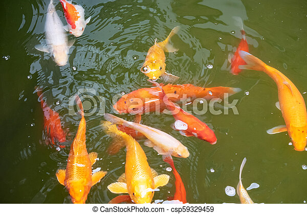 Koi fish in the pond - csp59329459