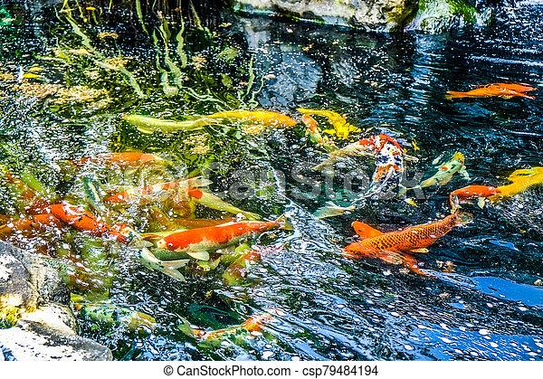 Koi fish in the pond - csp79484194