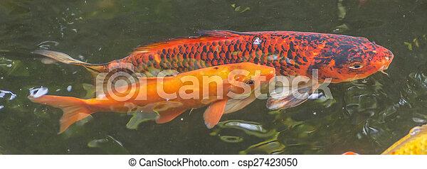 Koi fish - csp27423050