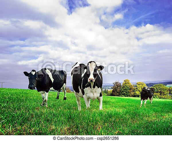 koien, groene, friesian, melkinrichting, pasture. - csp2651286