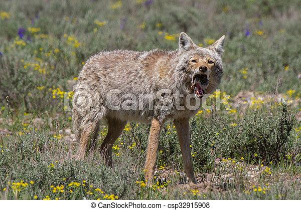 Kojote Fangen Maus