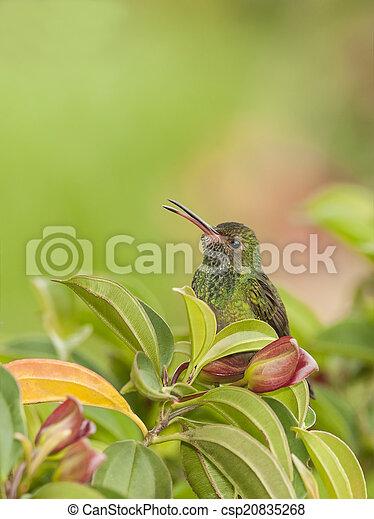 kolibri, hívás - csp20835268