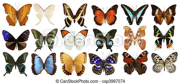 kollektion, fjärilar, vit, isolerat, färgrik - csp3997074