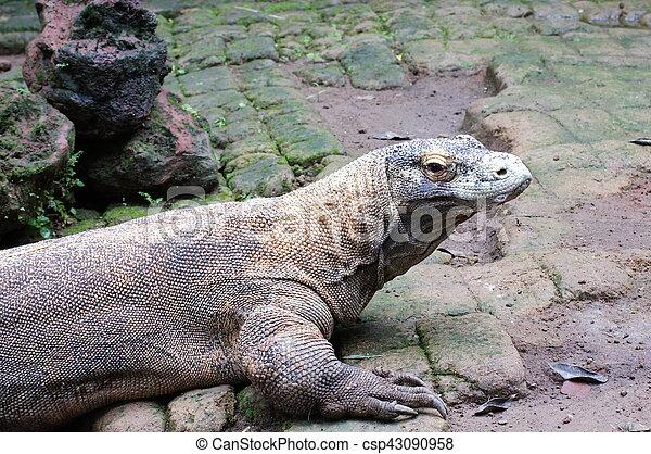 Komodo dragon in the wild on nature - csp43090958