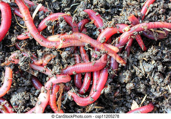 Kompostwürmer kompost würmer rotes köder würmer kompost bild suche