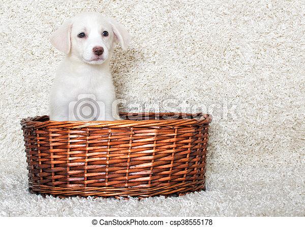 korb, junger hund - csp38555178