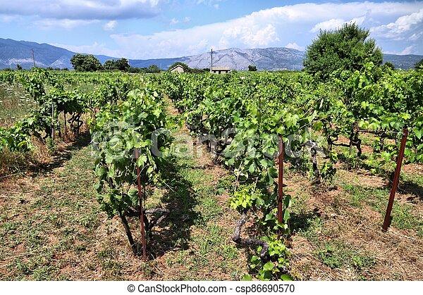 Korcula island vineyard - csp86690570