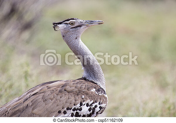 Kori Bustard, portrait shot of heaviest flying bird in the world (Ardeotis kori) - csp51162109