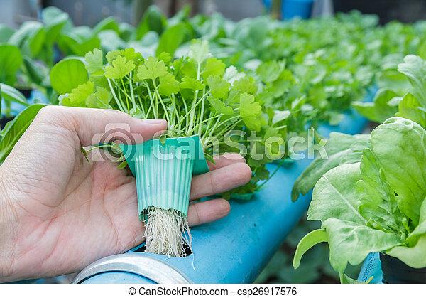 Koriander pflanzen hand wasser halten hydroponik for Koriander pflanzen