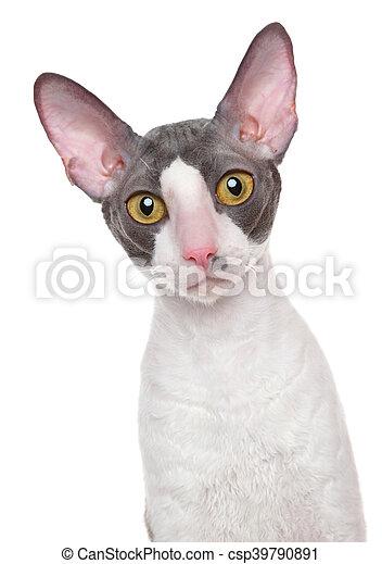 Kornwalijski Rex Kot Kornwalijski Szczelnie Do Góry Rex Kot
