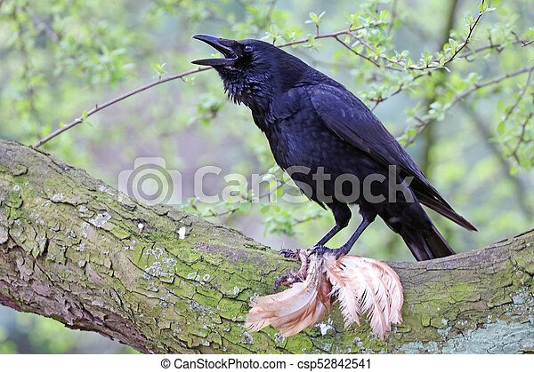 Crow näher ran - csp52842541