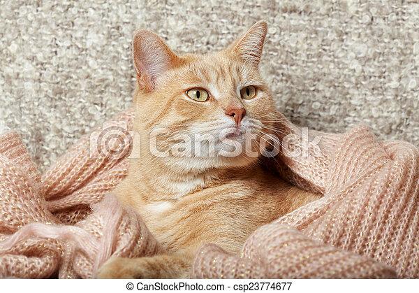 Krajowy Rudy Kot Portrait Zwierzę Home