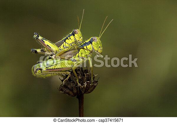 Krekel tussen groene paring twee groene paring takje krekel krekel tussen groene paring twee csp37415671 altavistaventures Images
