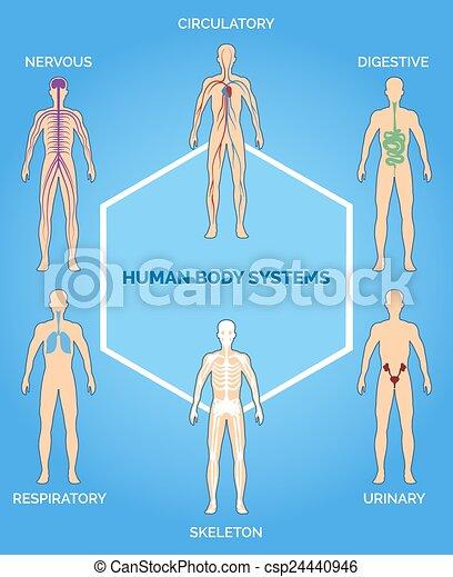kropp, mänsklig, vektor, system, illustration - csp24440946