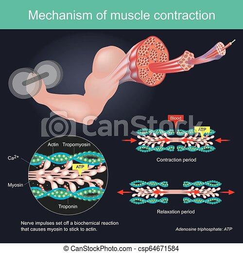 kropp, nerv, sätta, av, reaktion, ingivelser, infographic., myosin, muskel, resultat, mänsklig, actin., biokemiska, sammandragning, orsaker, käpp - csp64671584