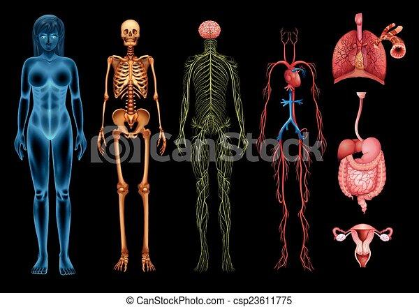 kropp, system, mänsklig - csp23611775