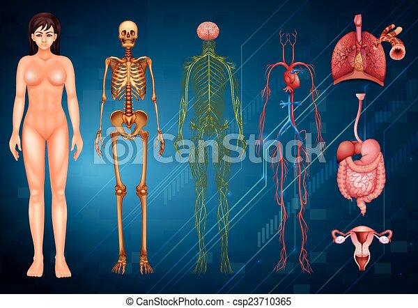 kropp, system, mänsklig - csp23710365
