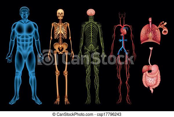 kropp, system, mänsklig - csp17796243